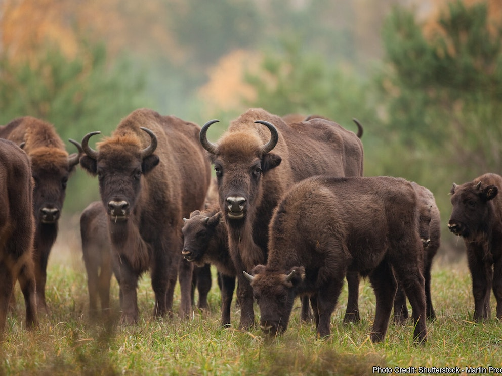 European Bison Herd
