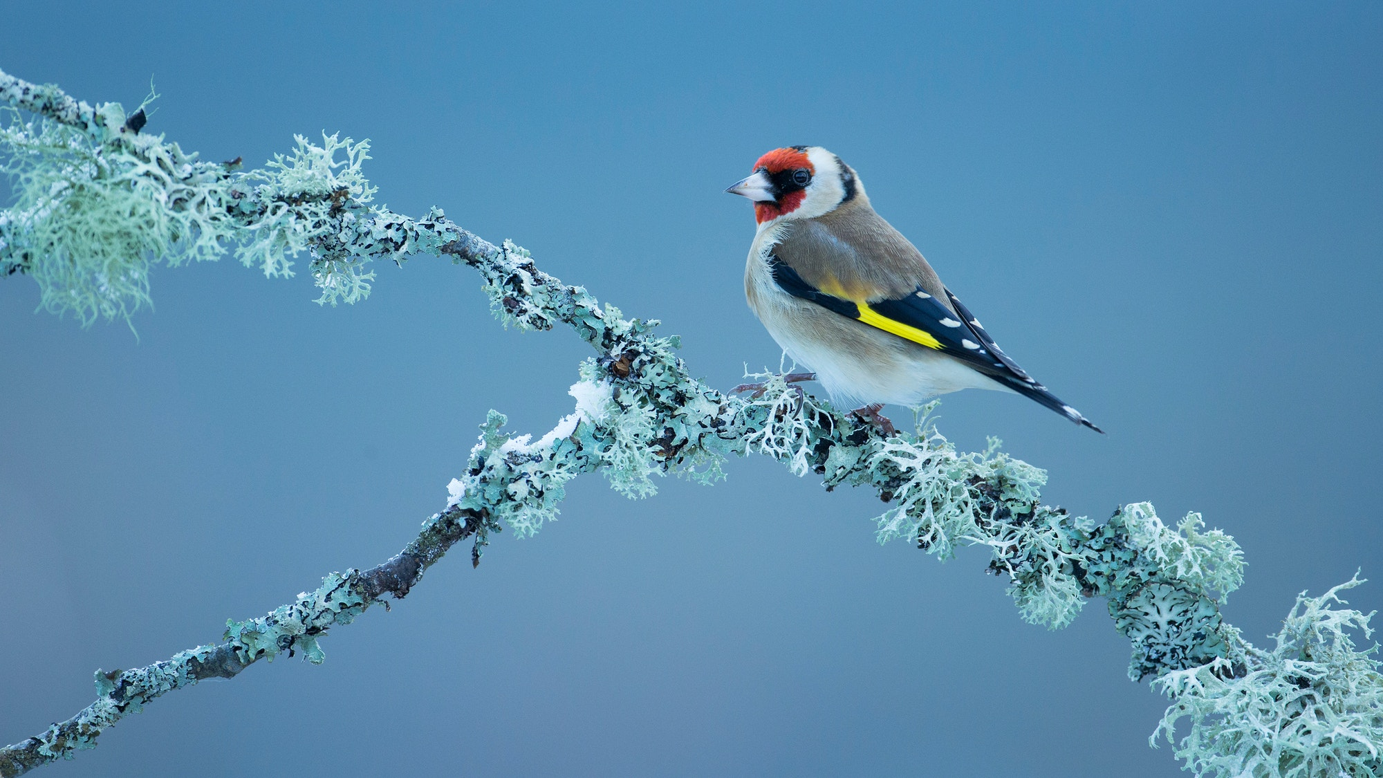 Goldfinch SBP PC