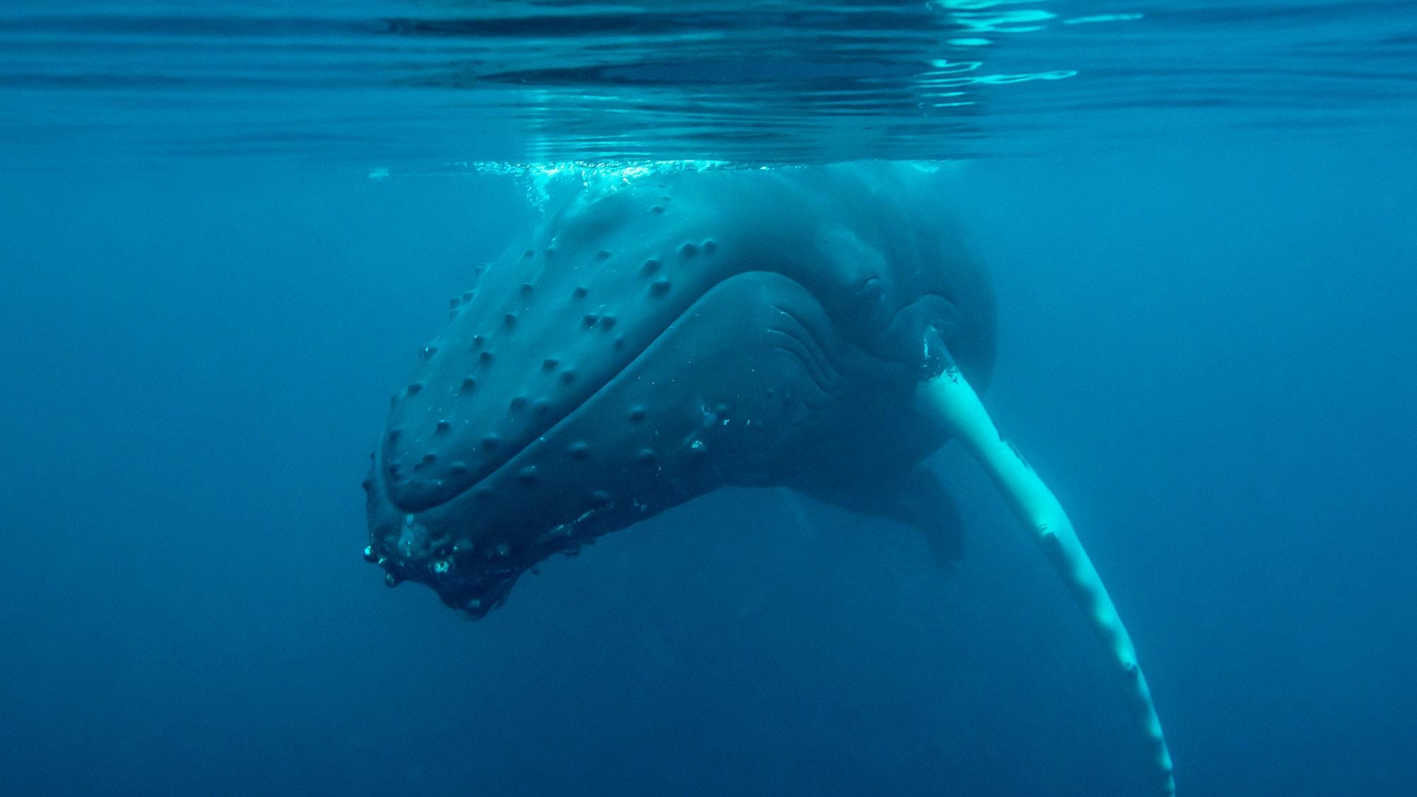 Humpback whale SB RS