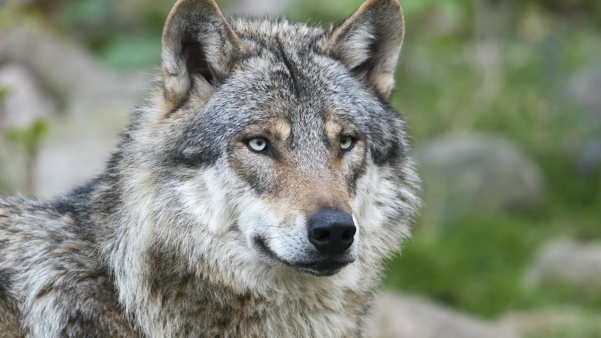 Keystone species wolf