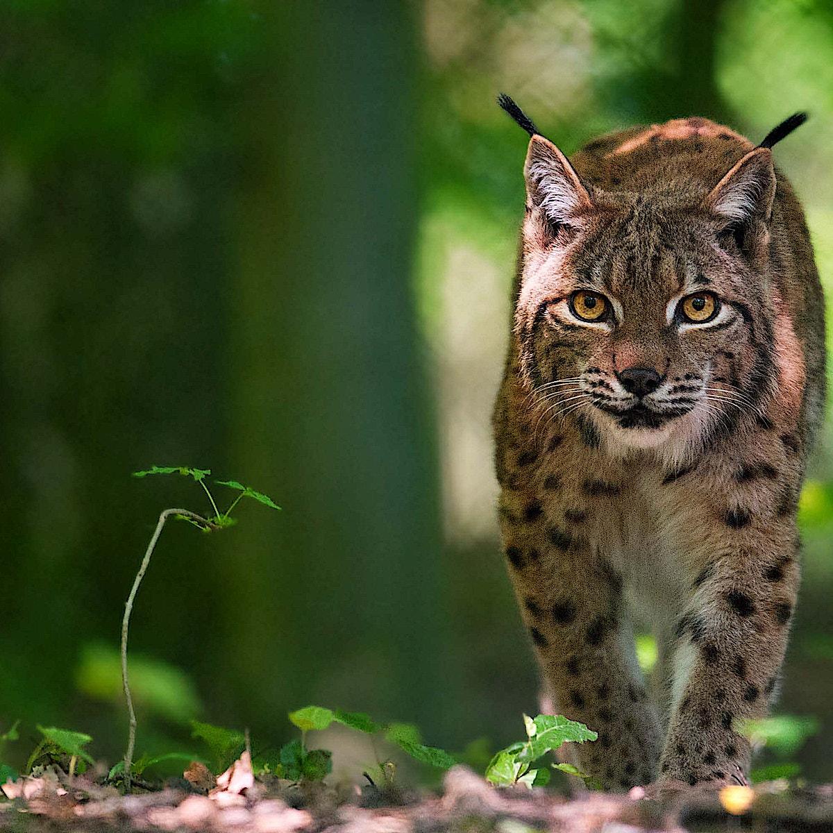 Lynx sh