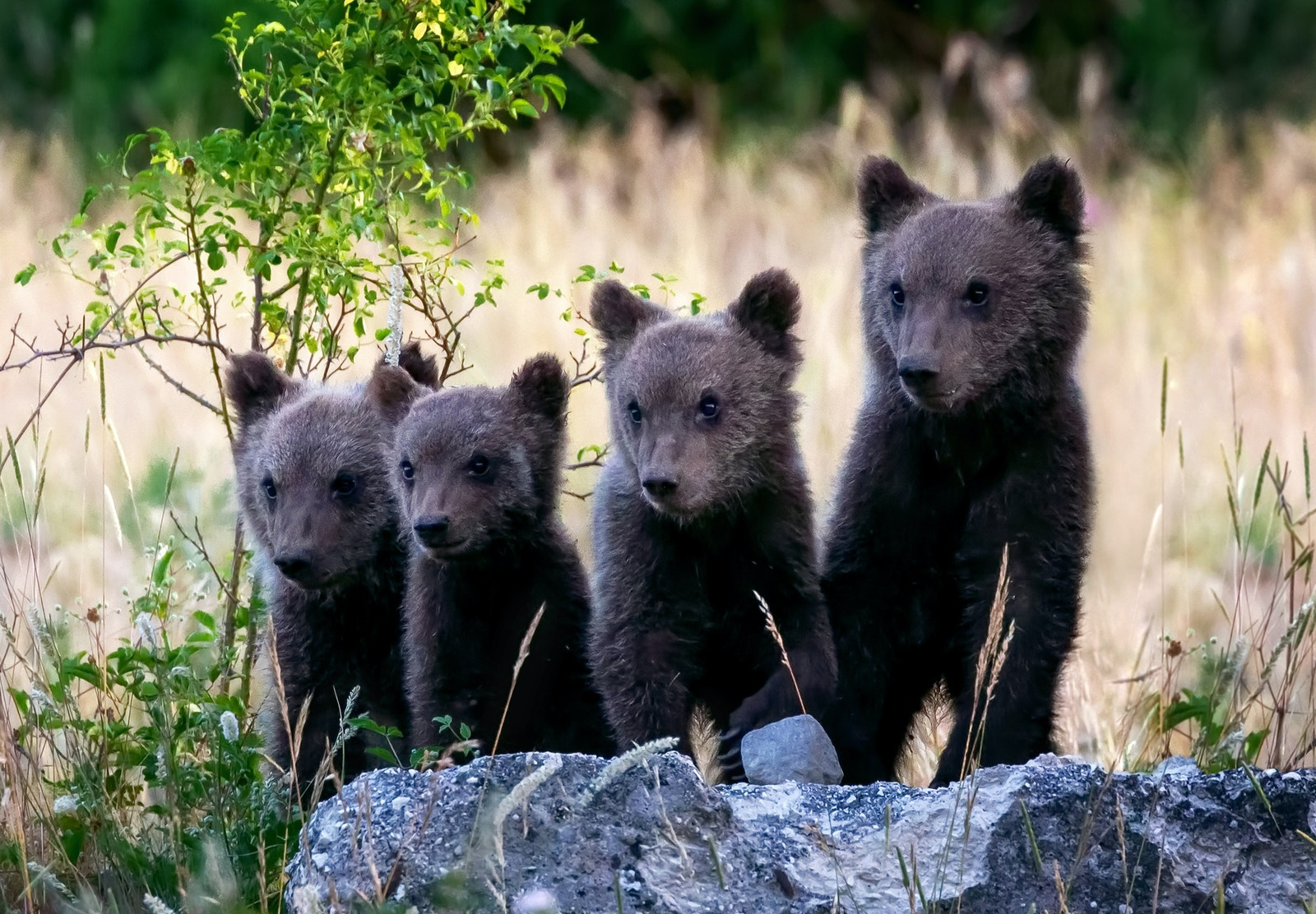 Marsican bear cubs