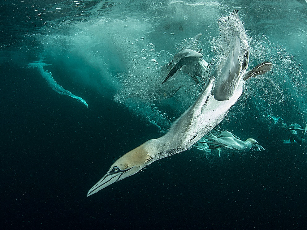 Rewild the seas gannet