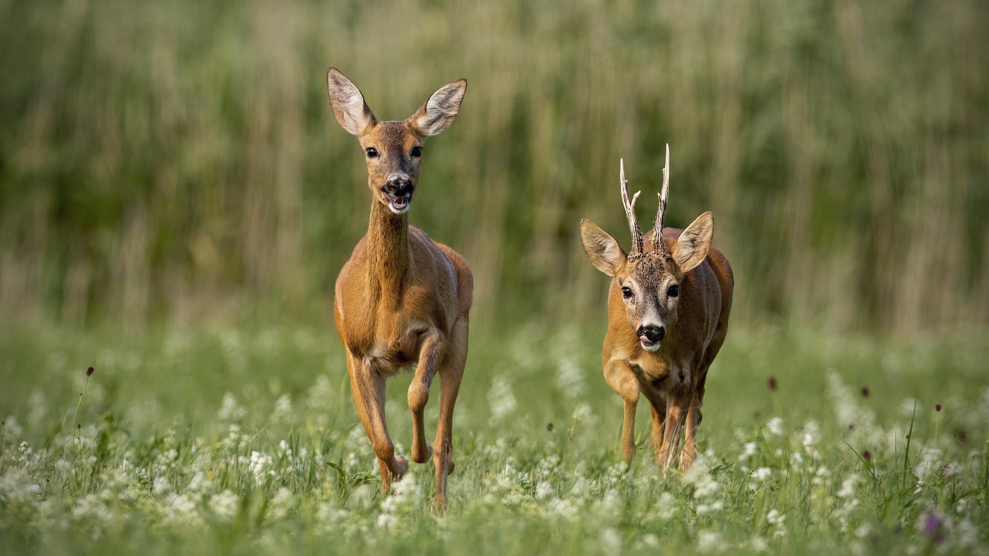 Roe deer SS