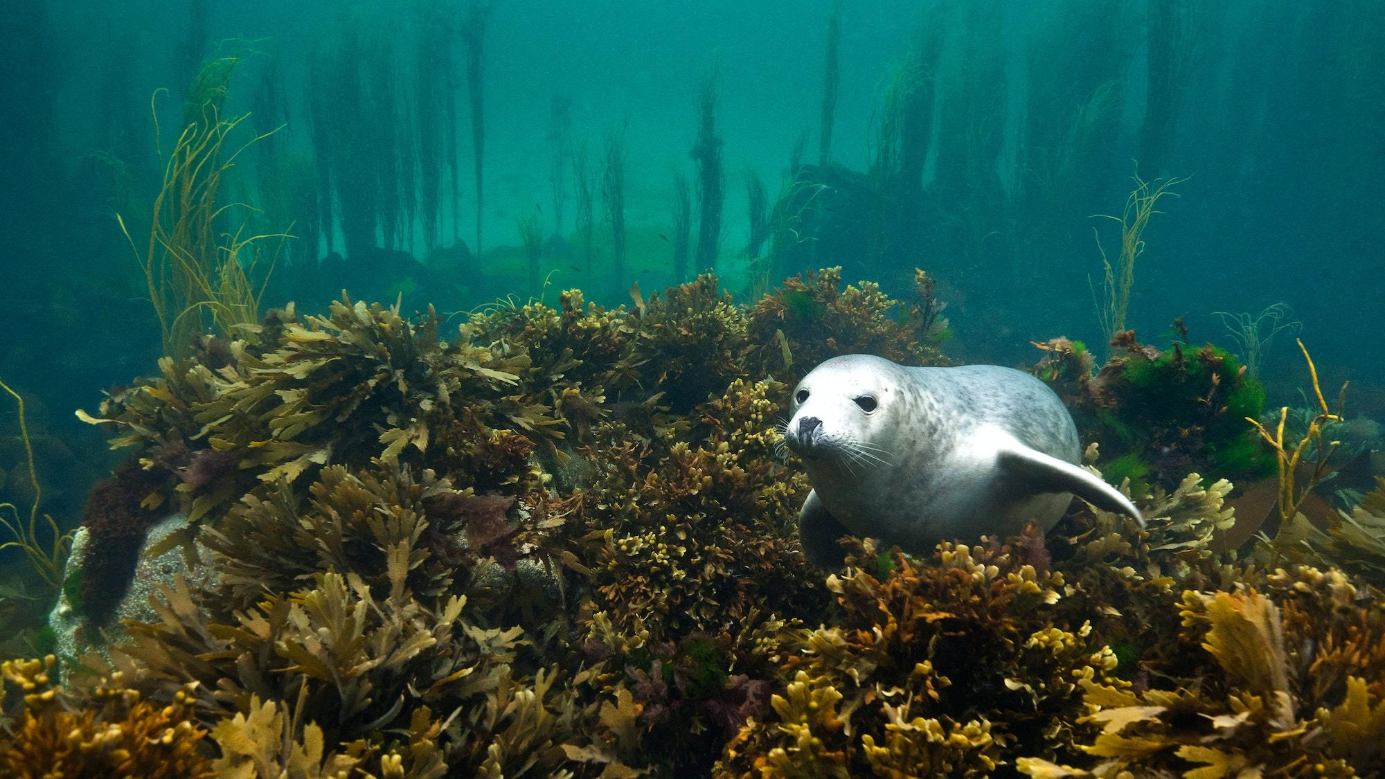 Seal kelp SBP Alexander Mustard