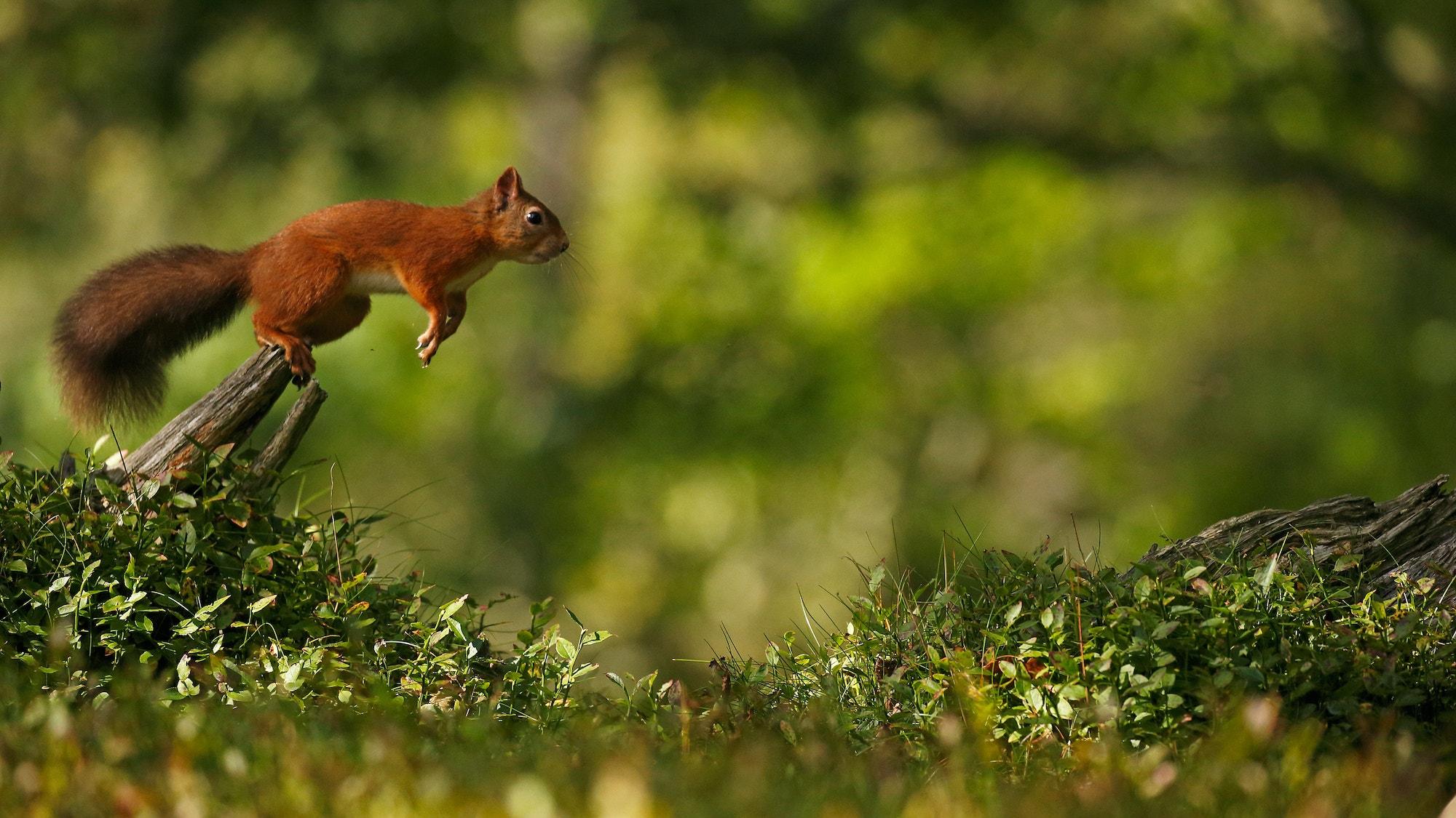 Squirrel jump SBP NM