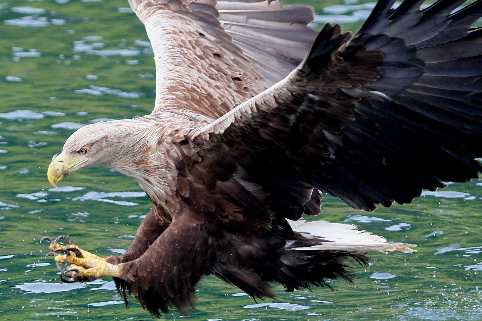 White tailed eagle1 SS