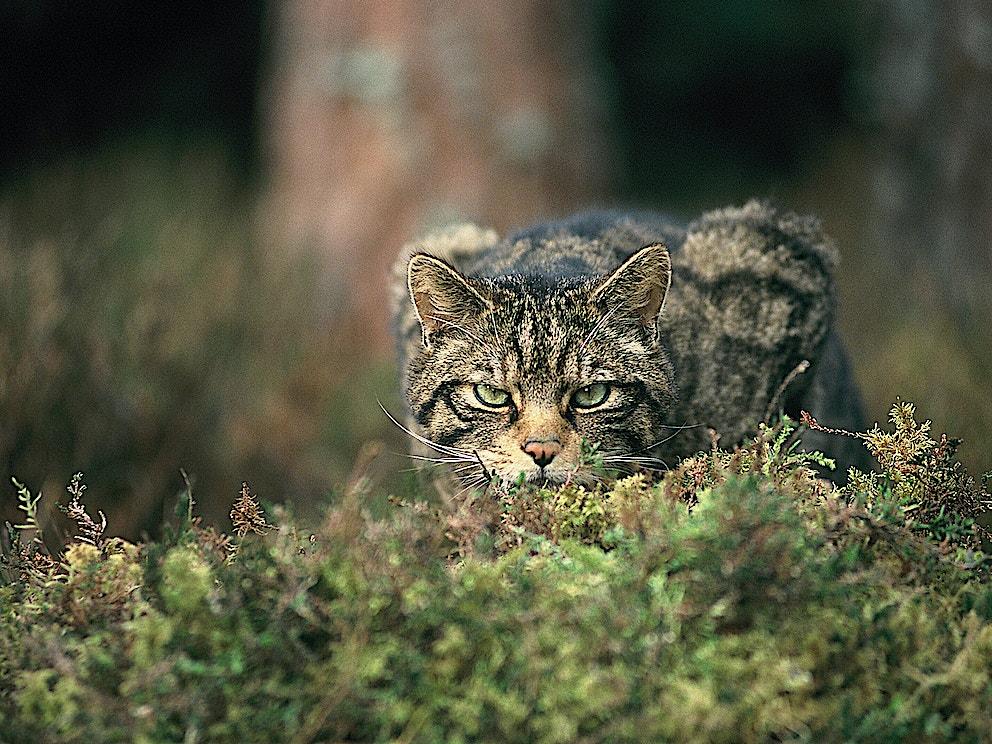 Wildcat SBP