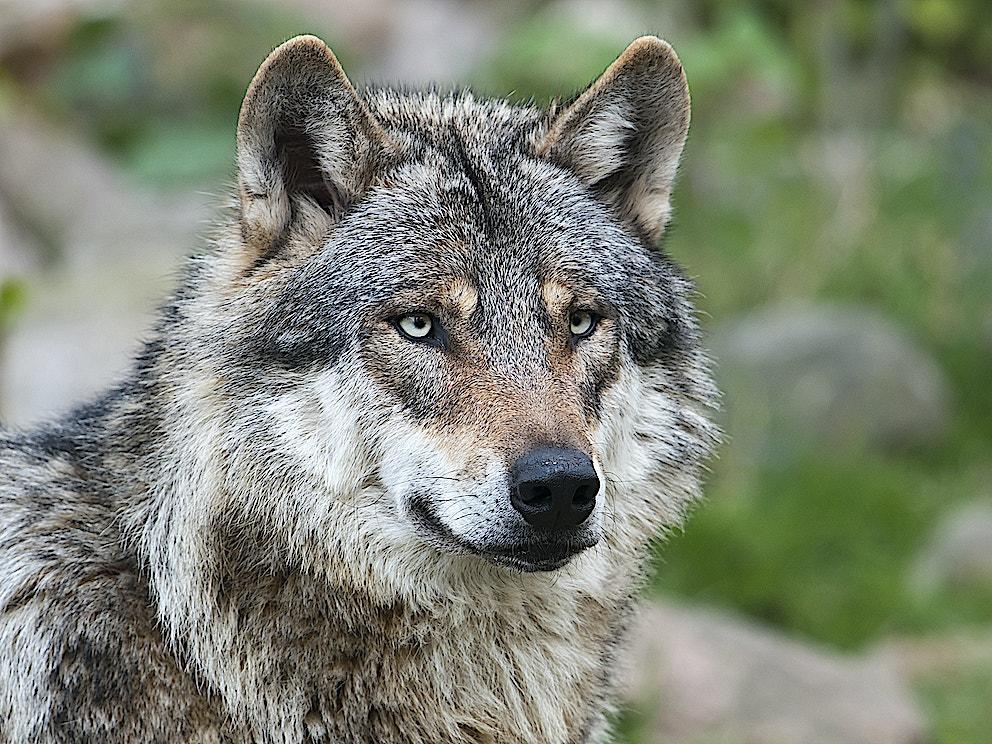 Wolf1 SS