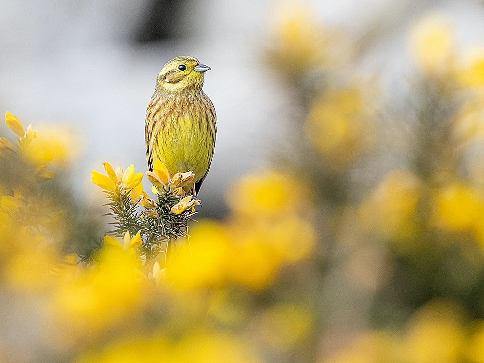 Yellowhammer BP