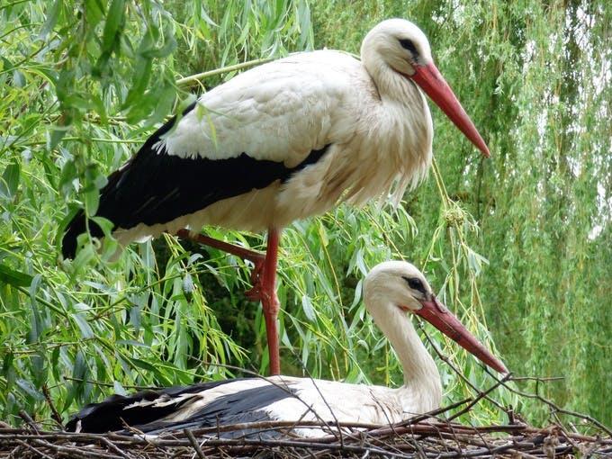 Rewilding Britain Storks 44f48bafd145835b943ecf3ac2f3182a