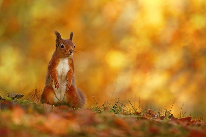 Red squirrel1x700 48a27ea3ac6e8984a212d1da69ff4db9